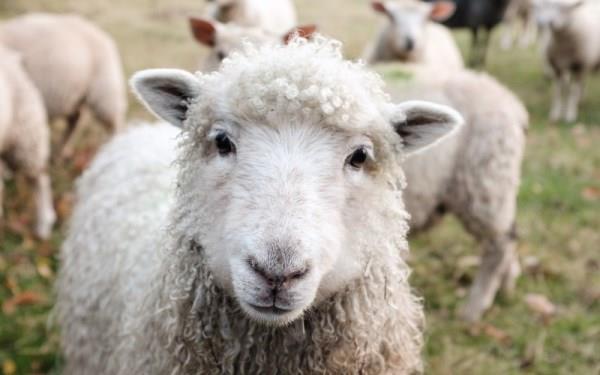 Причины востребованности овцеводства
