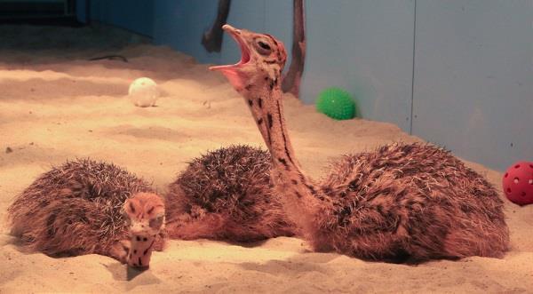 Правила содержания страусов