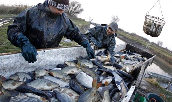 Разведение рыбы в пруду как бизнес