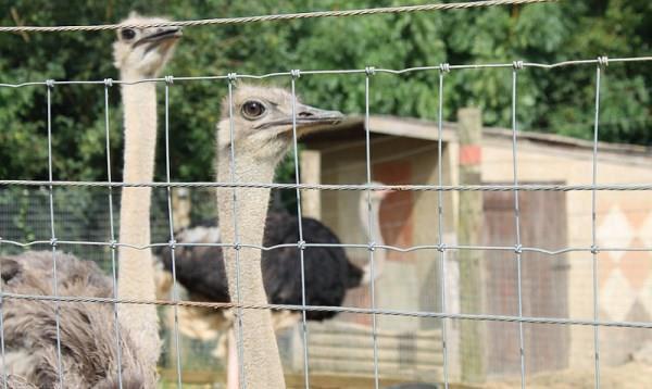 Способы содержания страусов