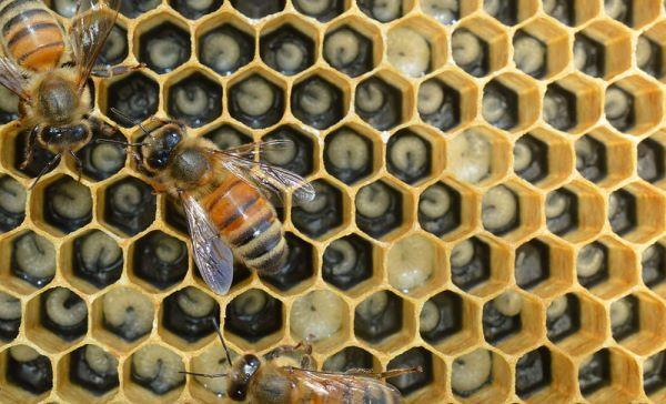 Пчеловодство как бизнес: с чего начать и как преуспеть?