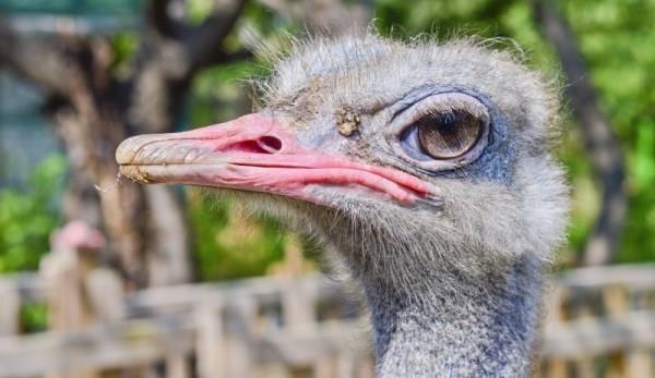 Преимущества страусиного бизнеса