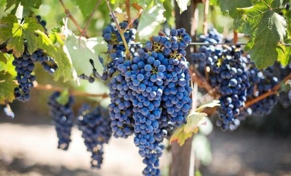 Производство вина как бизнес