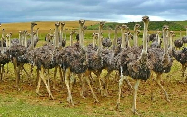 Особенности разведения страусов