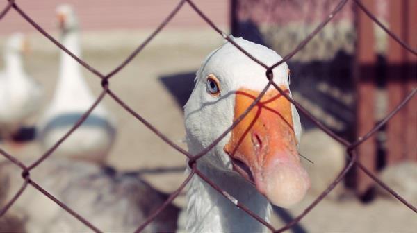 Разведение гусей как бизнес: выгодно или нет
