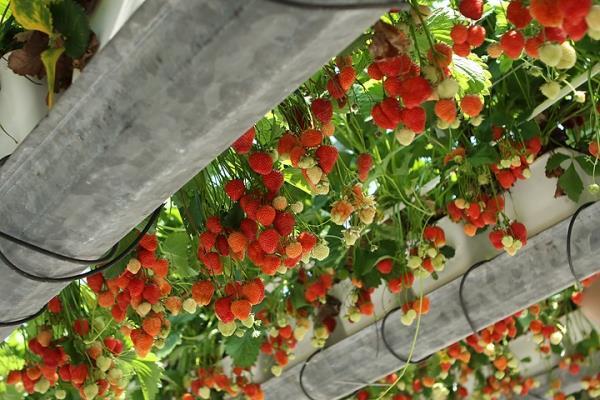 Бизнес на выращивании клубники: с чего начать