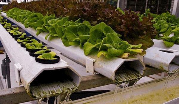 Где выращивать зелень?